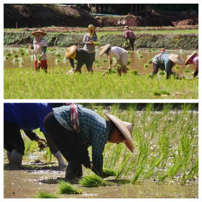 Rice planting in northern Thailand