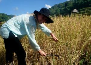 Rice Harvest Farming